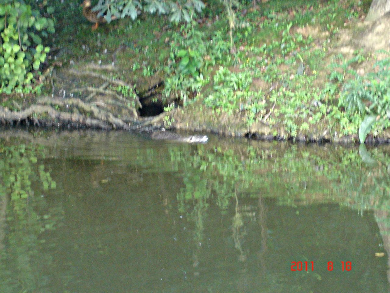 Ragondin sur le plan d'eau de Betton