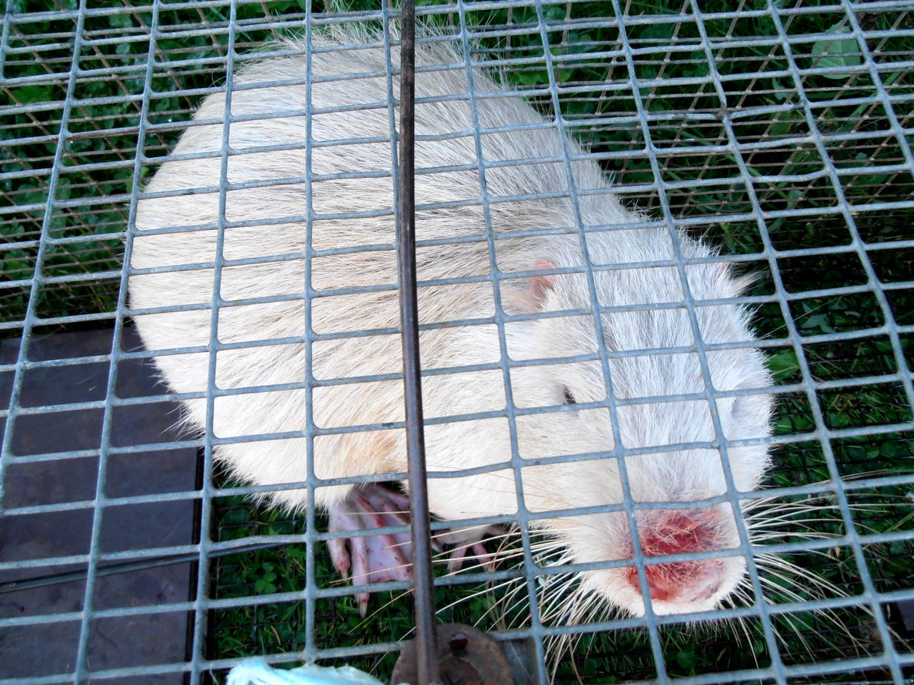 Capture d'un Ragondin Albinos