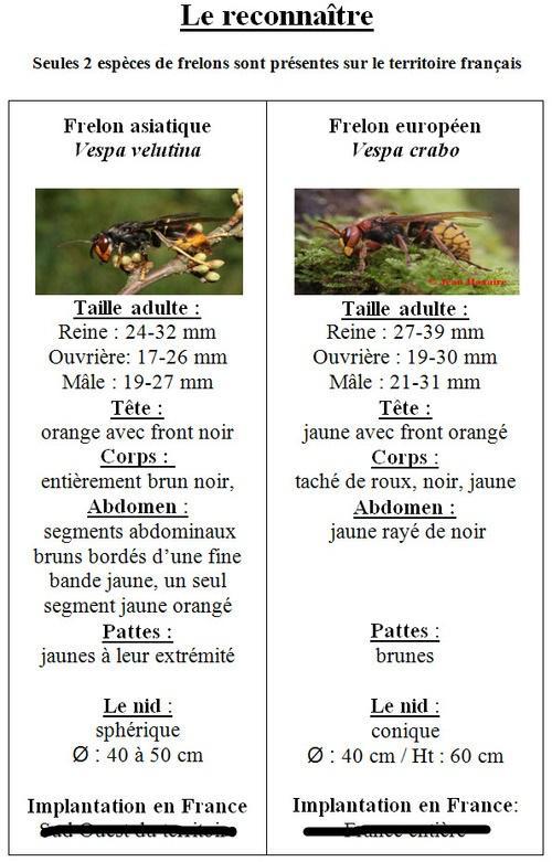 2016 comparatif du frelon europeen du frelon asiatique