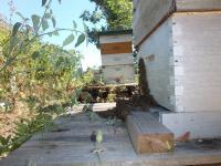 2016 un frelon asiatique en vol stationnaire attend sa proie une abeille