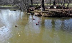 4 ragondins plan d'eau Betton