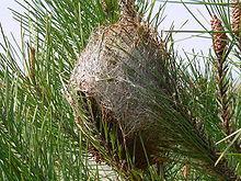 220px nid de chenilles processionnaires du pin