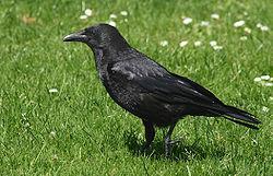 corneille-noire-1-1.jpg
