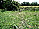 Dégâts dans un champ de maïs
