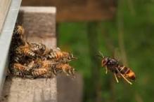Frelon asiatique à l'approche d'une ruche