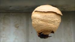 Nid primaire de frelon asiatique
