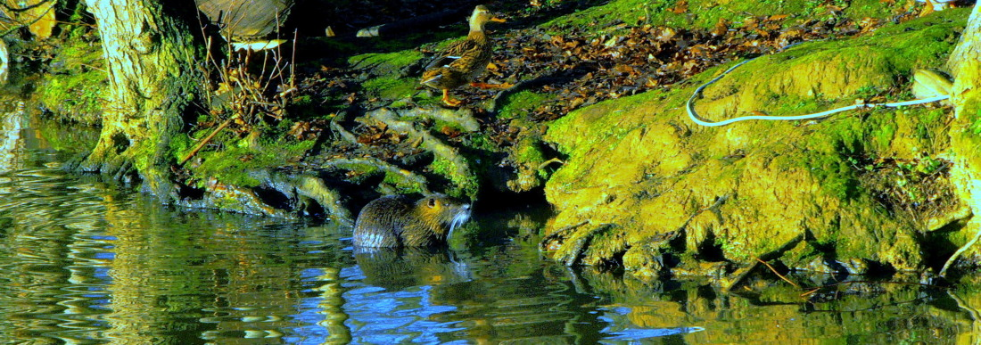 Ragondin  & canard au bord du Ille à Betton